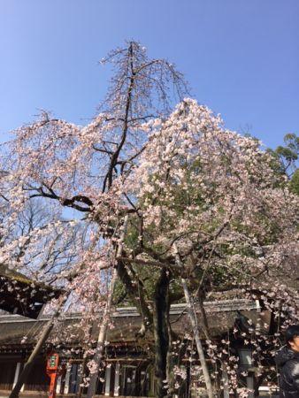 京都 桜といえば平野神社 金閣寺からも近くです。